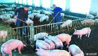 寻找猪生病的根源