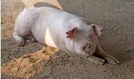 猪拉肚子也越来越频繁的原因