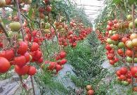 種植西紅柿要施什么肥