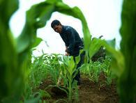 玉米最正確的施肥方法