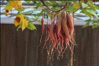 红薯种植新技术--空中养植