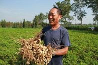 赤霉素可以提高花生產量