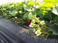 草莓如何連續開花