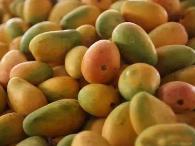芒果种植的6大误区