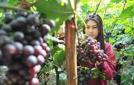 如何种出高品质葡萄