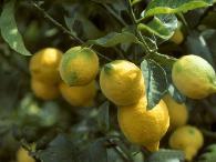 柠檬种植的土肥水管理