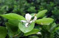 柠檬幼树促花方法