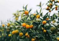 脆皮金桔種植