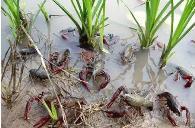 稻田小龍蝦養殖注意事項