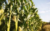 玉米高產施肥技術,省時省力省成本