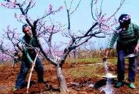 開春果樹施肥需要補施氮肥,千萬不能施用尿素