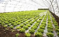 夏季高温对大棚蔬菜的危害及7种降温方法