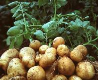 马铃薯环腐病的症状危害及防治措施