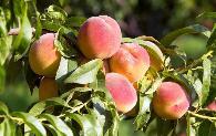 种植果树想果实增甜增红的方法