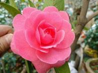云南名贵茶花系列(8)——菊瓣