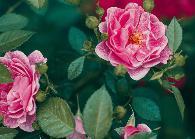 市花——月季
