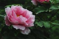 洛阳市市花——牡丹