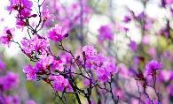 伊春市市花——兴安杜鹃