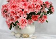 ?延吉市市花——杜鹃花