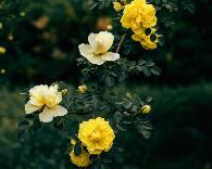 阜新市市花——黄刺玫