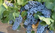 品丽珠葡萄栽培技术