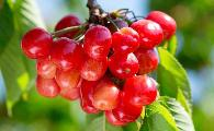夏季樱桃采收后,果农应做好果园果树的管理